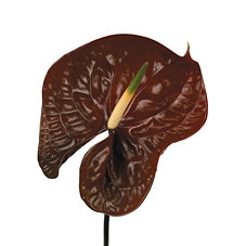 anthurium-chocolate wholesale flowers