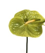 Anthurium, Mini-green