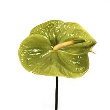 Anthurium wholesale flowers