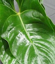 Anthurium Leaves