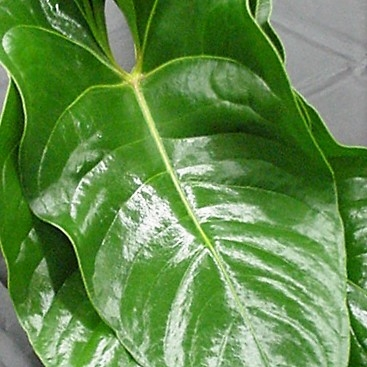 anthurium-leaves wholesale