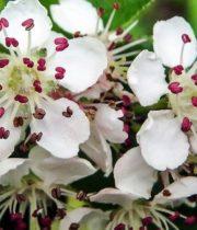 Aronia, Blooming-pink