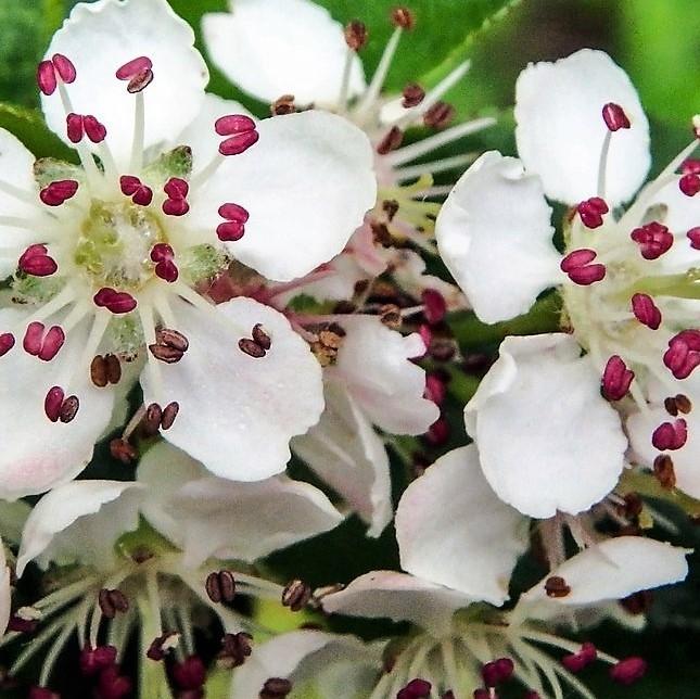 wholesale flowers | aronia-blooming