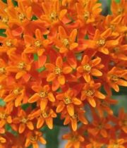 Asclepia-orange