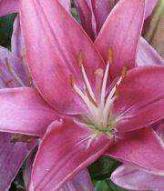 Lily Asiatic-mauve