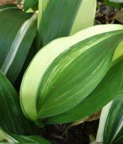 Aspidistra-variegated