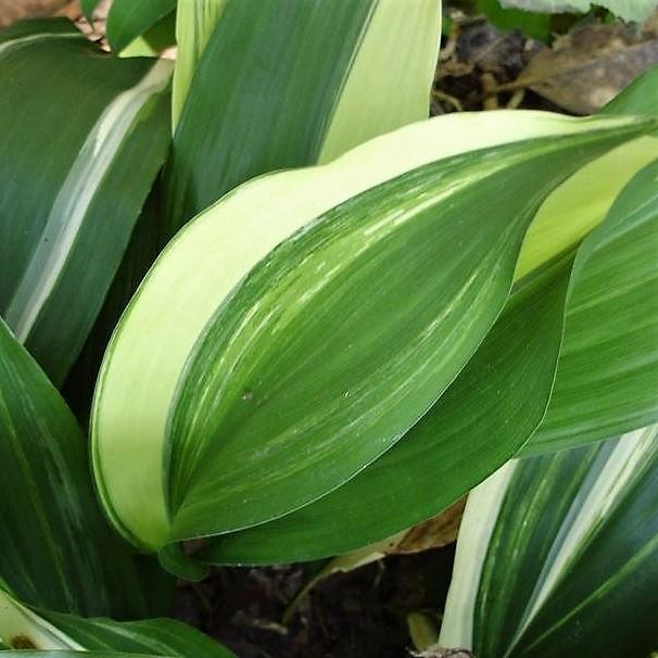 wholesale flowers | aspidistra-variegated