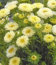 Aster, Matsumoto-yellow
