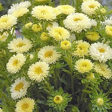 aster-matsumoto-yellow