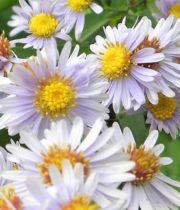 Aster, Montecasino-white