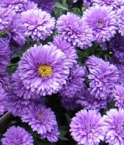 Aster, Matsumoto-lavender