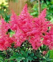 Astilbe-hot Pink