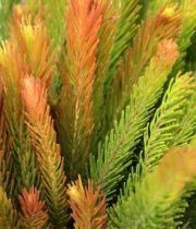 Aussie Pine