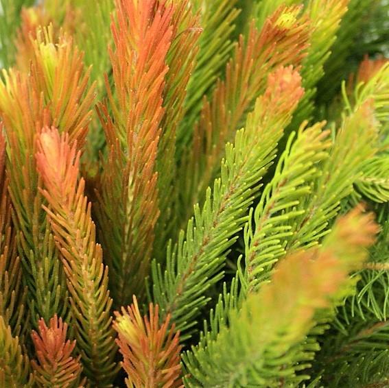 wholesale aussie_pine