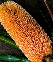 Protea, Banksia-orange