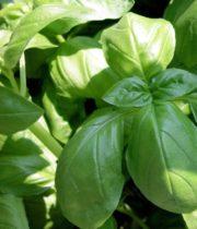 Basil, Herb