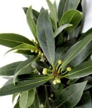 Bay Leaves, Herb