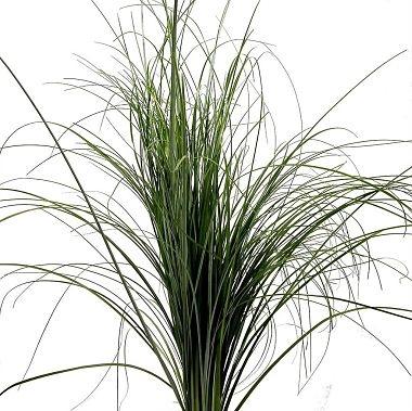 wholesale bear grass