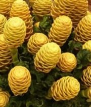 Ginger, Beehive-gold/yellow