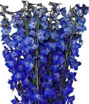 Delphinium, Belladonna-dark Blue