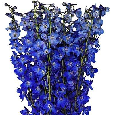 beladonna-blue-delphinium