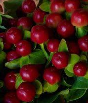 Hypericum-red