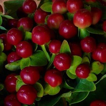 wholesale flowers   Hypericum -red