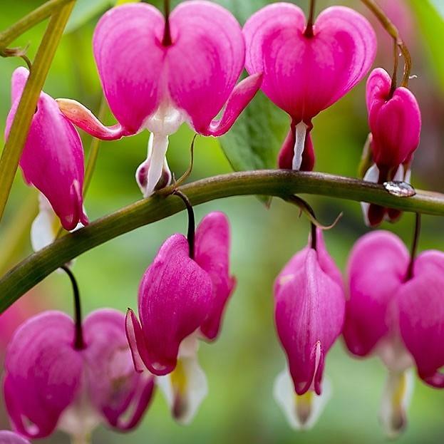 wholesale bleeding-heart-pink