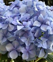 Hydrangea, Jumbo-light Blue