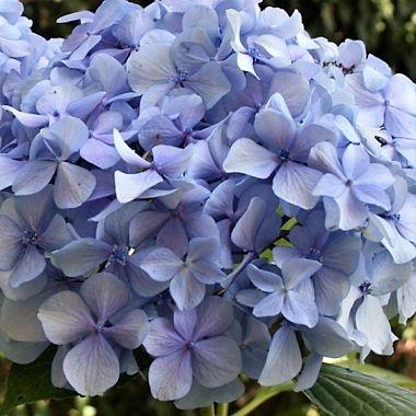 wholesale flowers | Hydrangea -jumbo blue