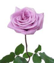 Rose, Blue Curiosa-SA