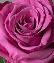 Blueberry 50cm Roses, SA