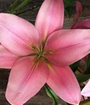 Lily L.A. Hybrid-mauve