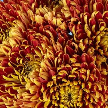 wholesale flowers   mums- bronze china