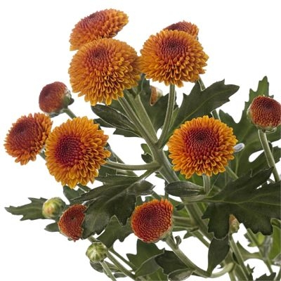 wholesale flowers | spray mums- button bronze