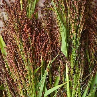 wholesale flowers | broom corn