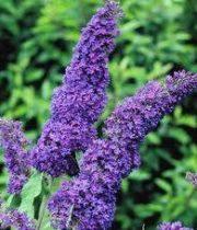 Buddlea-purple