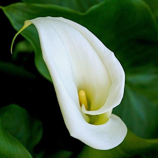 wholesale flowers calla arctic white