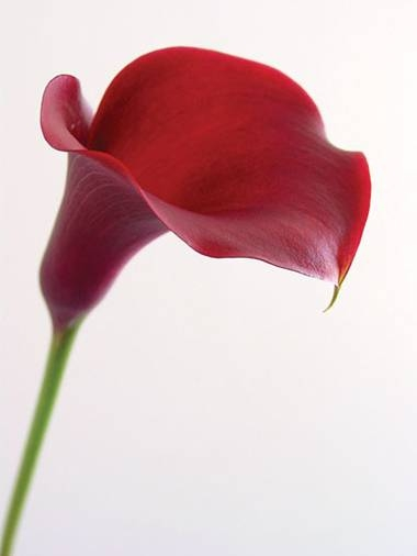 wholesale flowers calla -mini-majestic-red