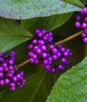 Calicarpia-purple
