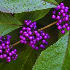 calicarpia-purple wholesale flowers