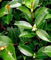 Camellia Foliage