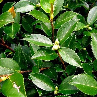 wholesale camellia foliage