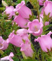 Campanula-pink