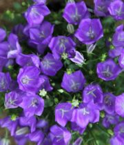 Campanula-purple