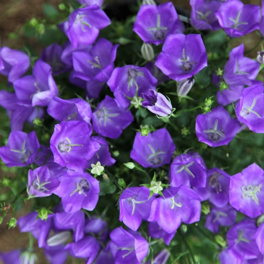 wholesale campanula purple