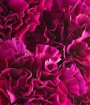 Carnations, Mini-hot Pink