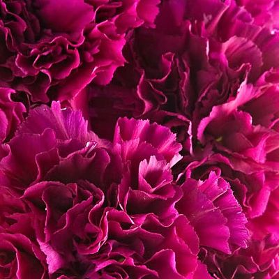 wholesale carnation fuchsia