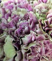 Carnation, Specialty-Merletto-green/purple