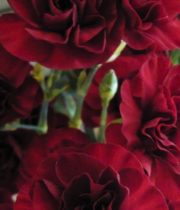 Carnations, Mini-burgundy